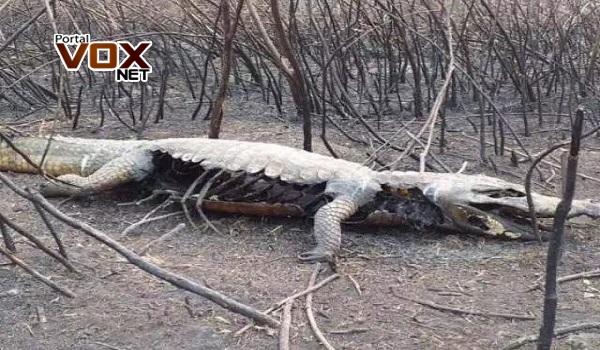 Triste – Fogo matou mais de 17 milhões de animais no Pantanal